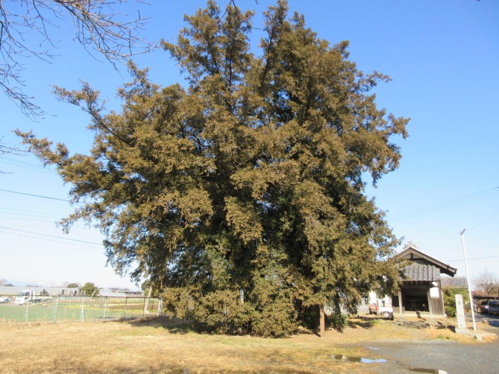 上高島 高島諏訪神社 榧の老木